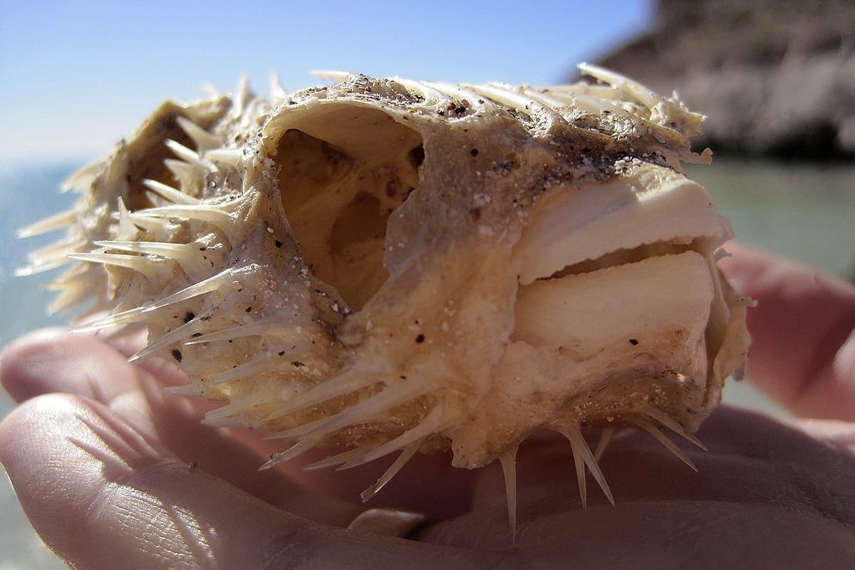 Kugelfisch-Skelett